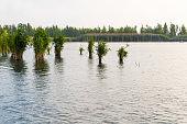 Large bundles of reeds growing in the lake
