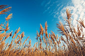 Dry bulrush reed, low angle