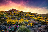Culp Canyon Covered in Brittlebush Flowers At Sunset, Anza-Borrego Desert State Park