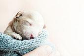 newborn puppy on hands