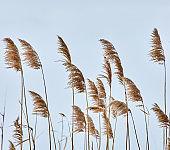 Reed closeup in winter