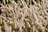 Reed plants in closeup