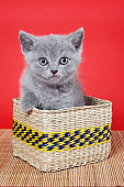 Fluffy gray kitty british sits in a box on a red background