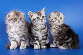 Three fluffy kitten skotish fold on a blue background
