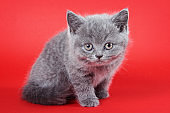Fluffy gray kitten british on a red background