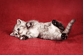 Gray fluffy kitten plays and has fun on a red background