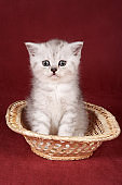 White cute kitten on a red background