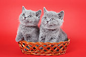 Two gray kittens of a British cat in a basket on a red background