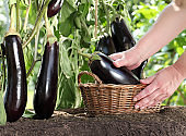 Hands picking eggplant from the plants in vegetable garden with wicker basket, close up