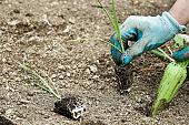 Gardener planting leek seedlings
