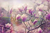 Magnolia flower, beautiful blossomed