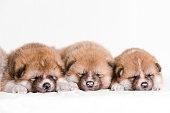 Akita inu dog puppy