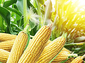 Ears of maize or corn in the sunlight.