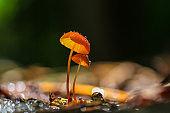 orange mushrooms, Marasmius siccus or umbrella mushroom