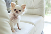 white chihuahua dog cute pet happy smile in home with seat sofa furniture interior decor in living room