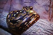 Python resting in terrarium