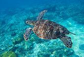 Sea turtle closeup undersea photo.