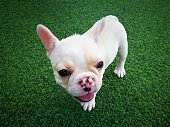 White brown french bulldog puppy standing on green artificial grass