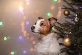 Dog Jack Russell Terrier and Christmas