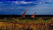 two giraffes walking in a savannah on the evening, in Kruger park, South Africa