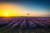 Flying drone and lavender field, golden sunset