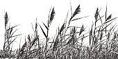 Marsh grass Phragmites Australis. Common Reed.
