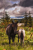 Alone horse and foal at mountain meadow at rainy day with dramatic clouds. Rural landscape