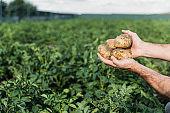 farmer holding potatoes in field