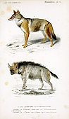Illustration of a wolf and a hyena.