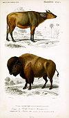 Illustration of a bull.