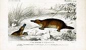 Illustration Of A Platypus.