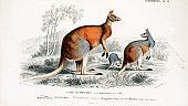 Illustration of a kangaroo