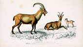 Illustration of a wild goat