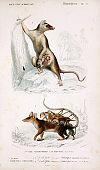 Illustration of possum