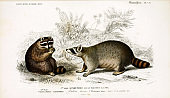 Illustration of a raccoon.