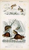Illustration of beavers