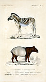 Illustration of a tapir and Zebra