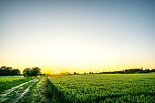 Cereal field with blue sky at sunset