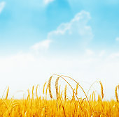 golden ripe crop on field and blue sky over it