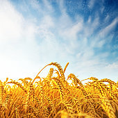golden harvest on field and clouds in blue sky in sunset
