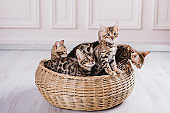 bengal cats babys leopard