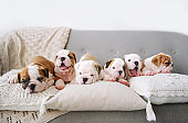Group of little puppies of the English bulldogs lie on a soft pillows in white room