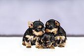 Portrait three puppies of the Yorkshire Terrier