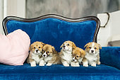 Group of five corgi puppies sandy color sitting at blue sofa and looking at camera