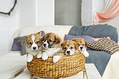 Cute funny puppy dogs in wicker basket at home