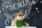 Cute puppy Corgi on picture background