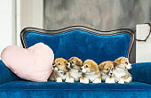 Group of five corgi puppies sandy color sitting at blue sofa