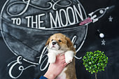 Puppy Corgi in hands on picture background