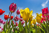 Colorful dutch tulips against a bright blue sky in The Netherlands