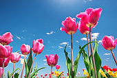 Tulips on blue sky.